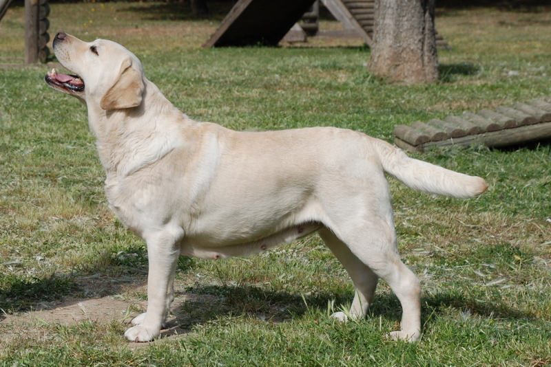 Yellow Lab Dogs For Sale Ontario