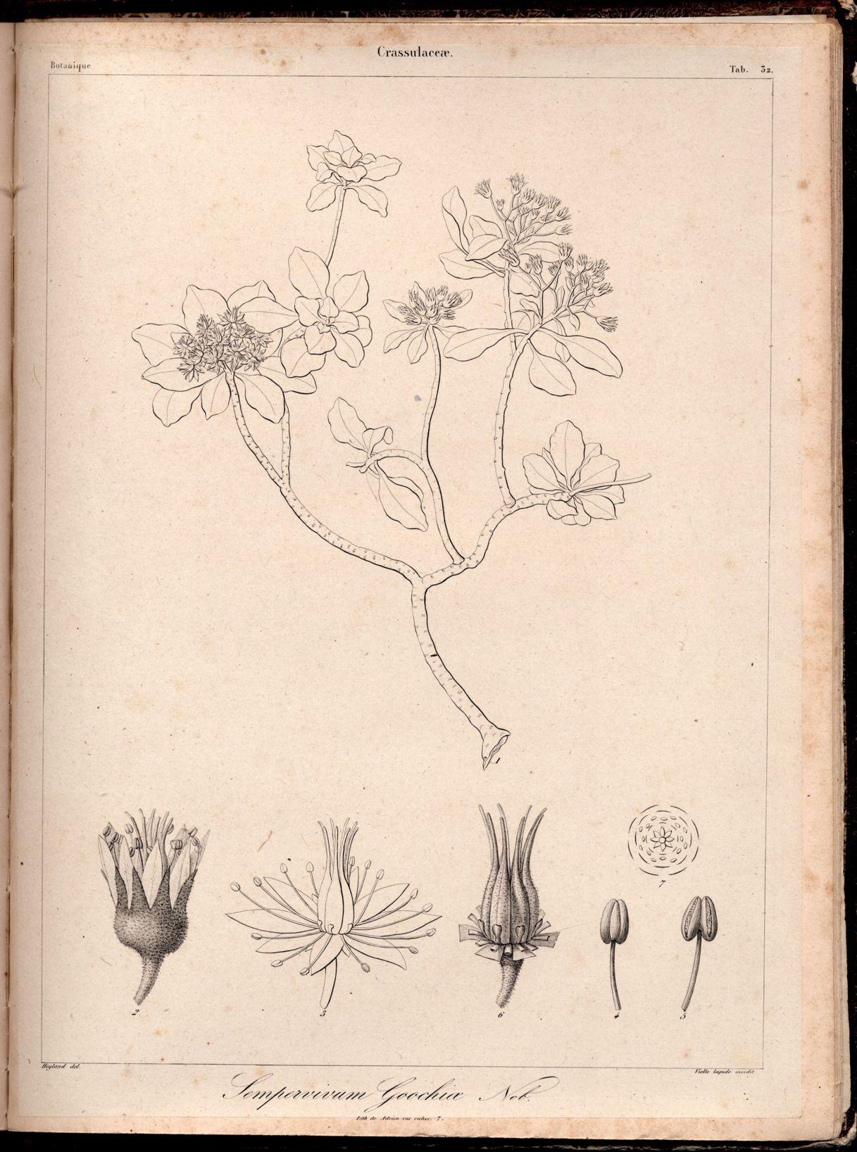 La jolie petite fleur de Aeonium goochiae Aeonium_goochiae_Phyt.Canar.1