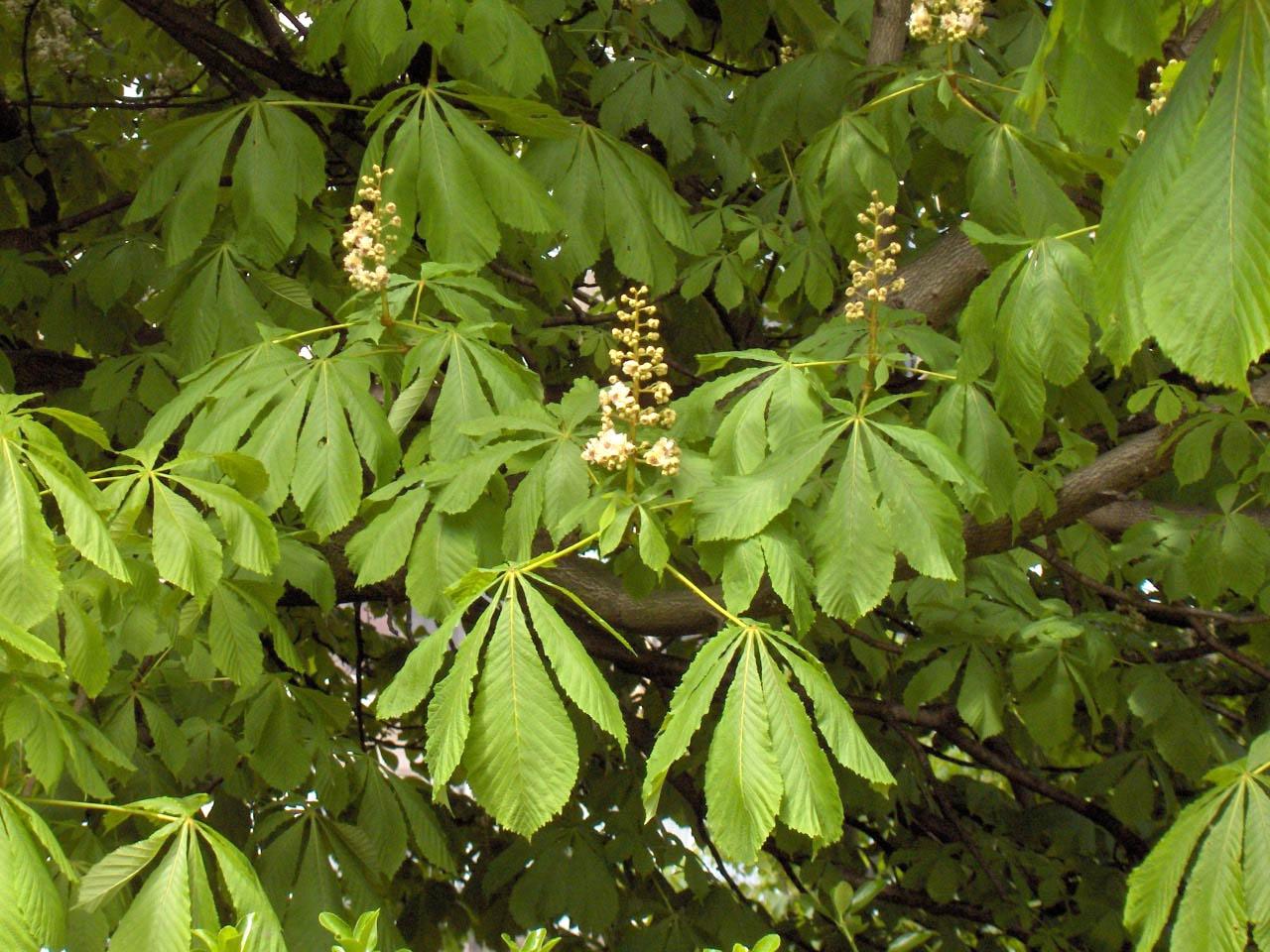 File aesculus hippocastanum 01 jpg wikimedia commons for Arboles que dan sombra para jardin