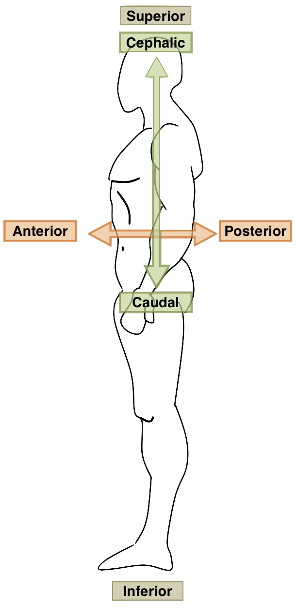 Anatomy position terms