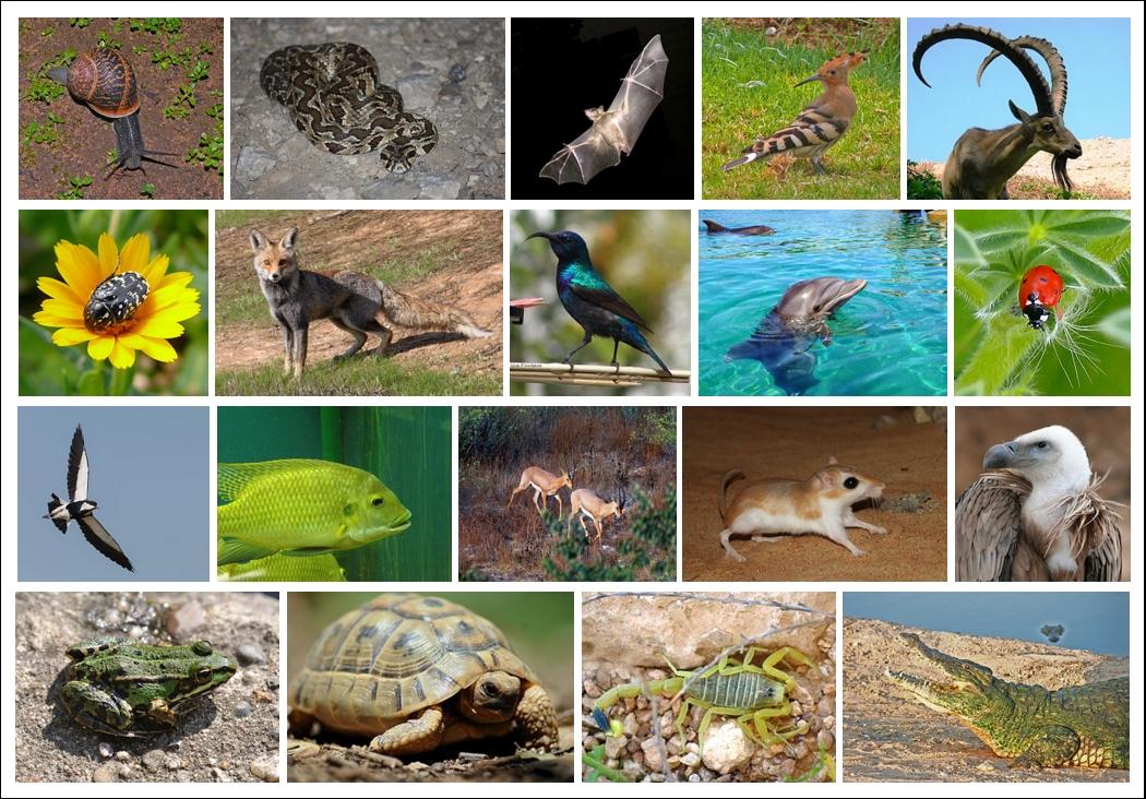 File:Animals-of-Israel-ver004.jpg - Wikimedia Commons