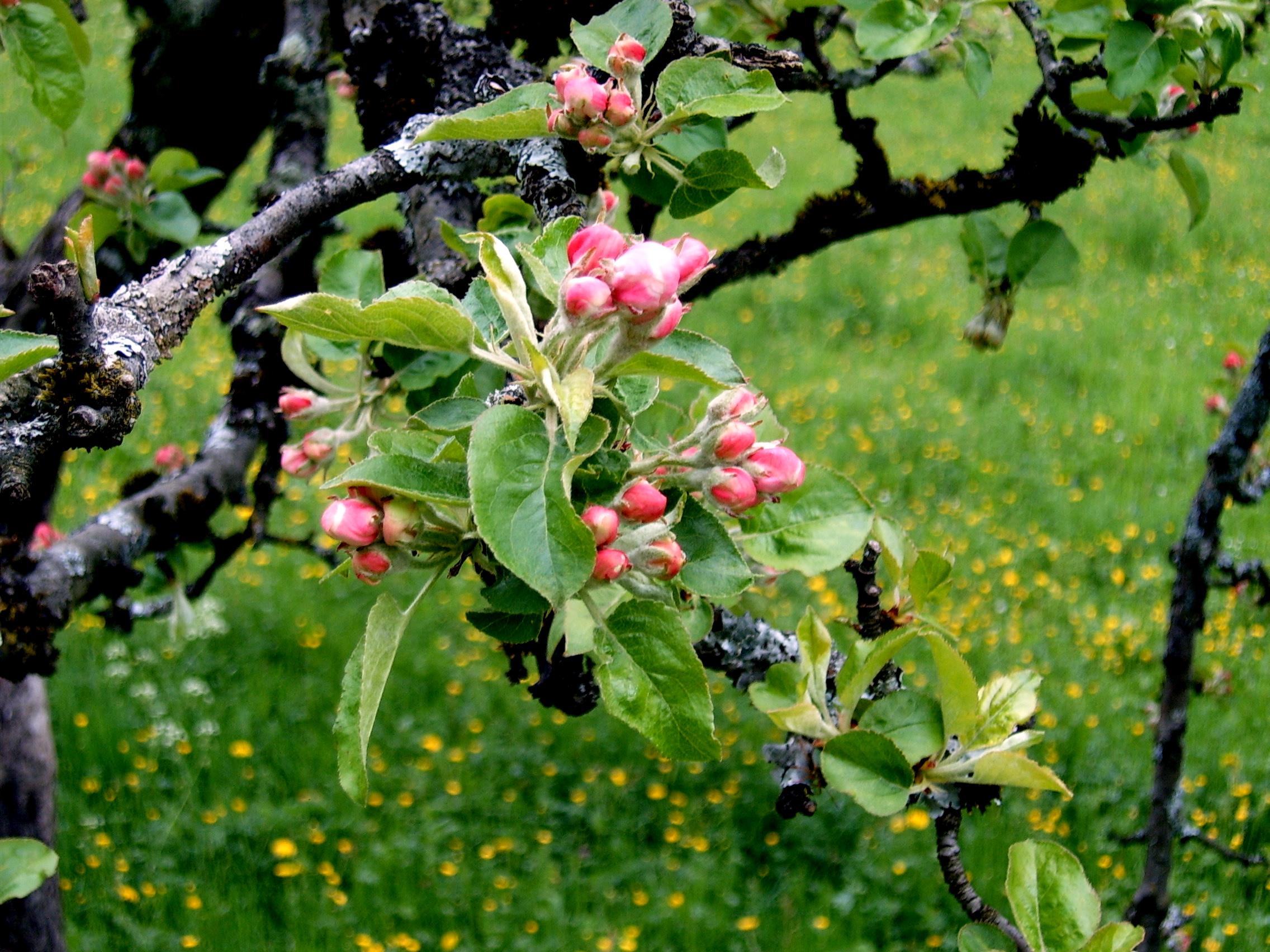 File:Apple tree.jpg - Wikipedia