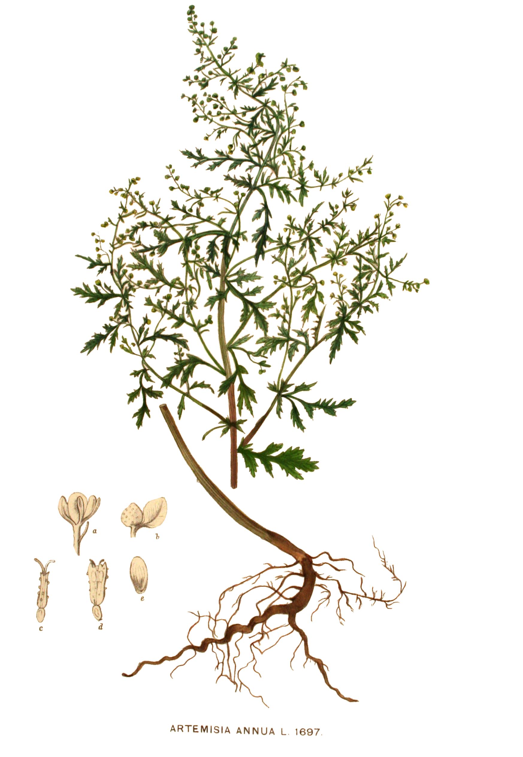 File:Artemisia annua - 001x.jpg - Wikimedia Commons
