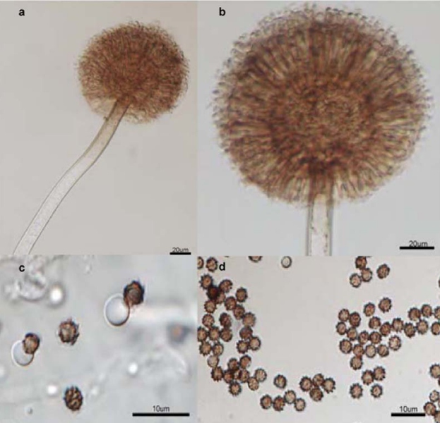 aspergillus niger A bioflocculant (mbfa18) was produced by aspergillus niger (a18) using potato  starch wastewater (psw) as nutrients the cultivation.