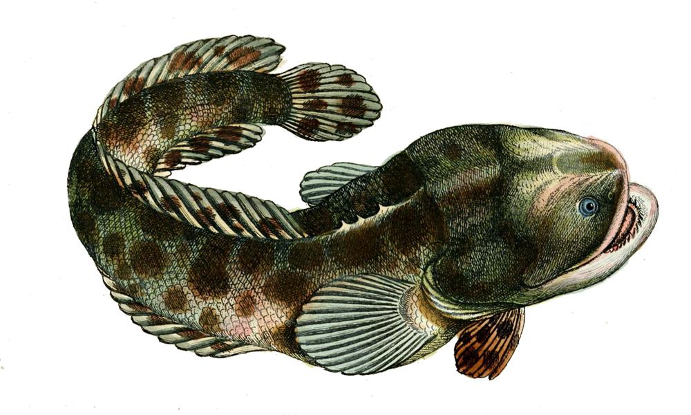 toad fish - photo #22
