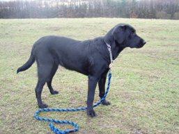 Labradorský retrívr-černý