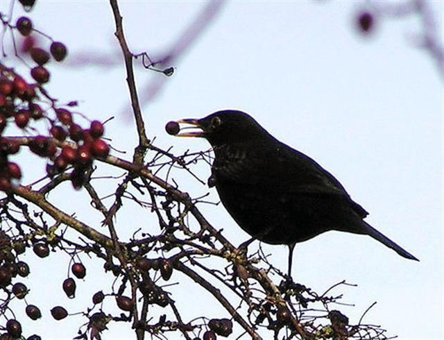 Blackbird with berry, Omagh - geograph.org.uk - 276585