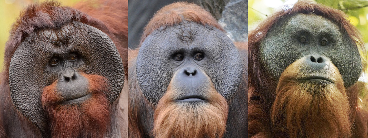 a study of orangutans The study, orangutans venture out of the rainforest and into the anthropocene, is published in the academic journal science advances last updated wed 27 jun 2018 share.