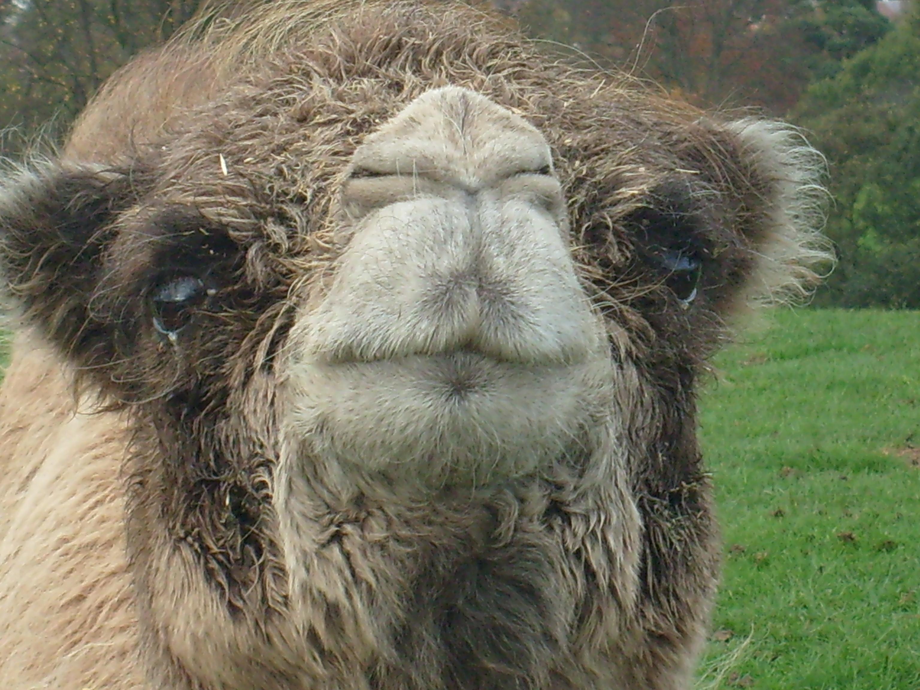 fakta om kameler