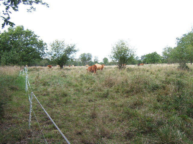 Cattle grazing on Epsom Common - geograph.org.uk - 44130