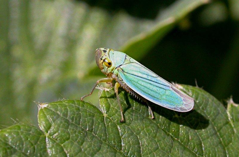 Ficheiro:Cicadella viridis web.jpg