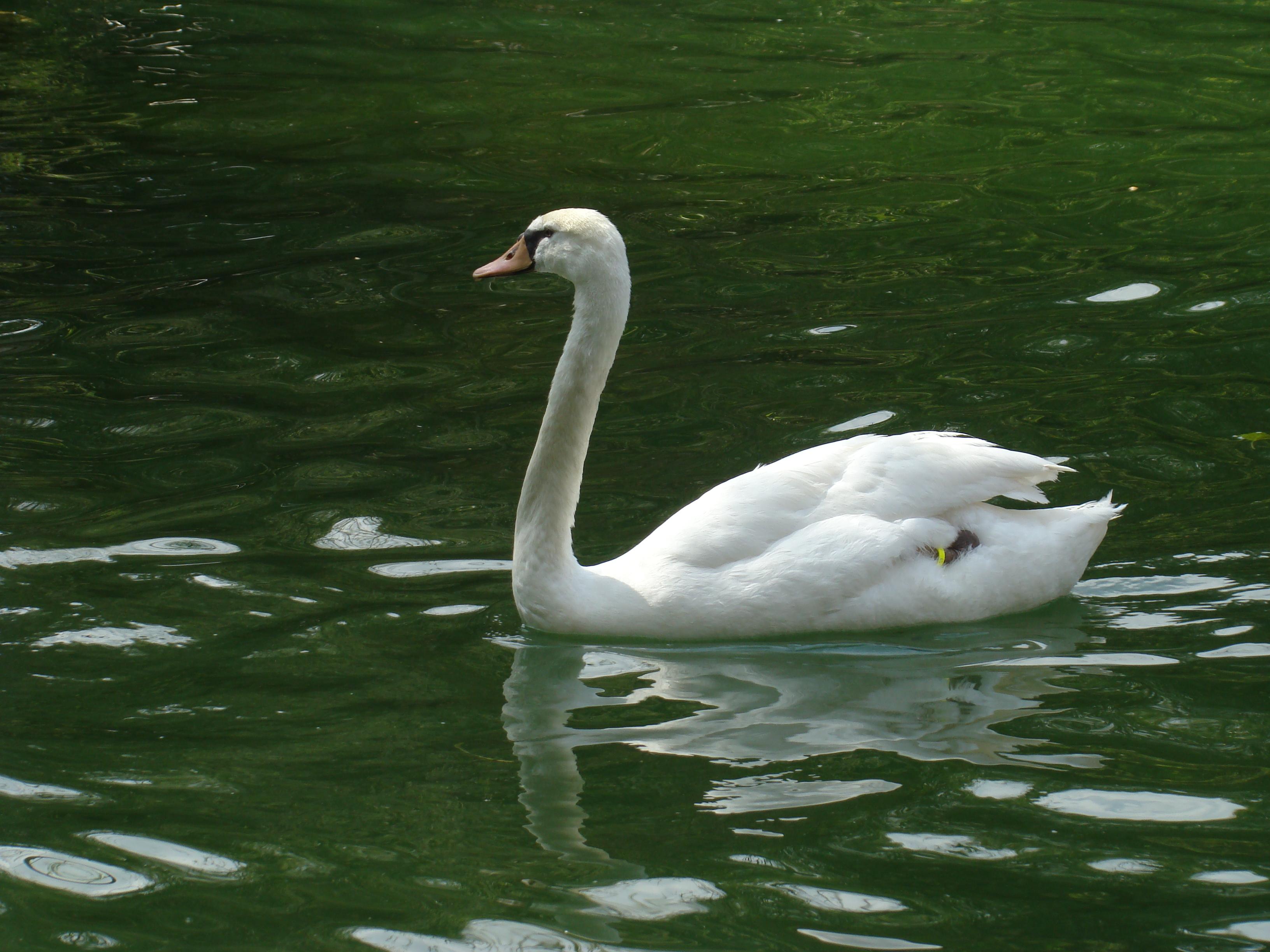 File cisne en estanque campo grande valladolid ni jpg Estanque grande