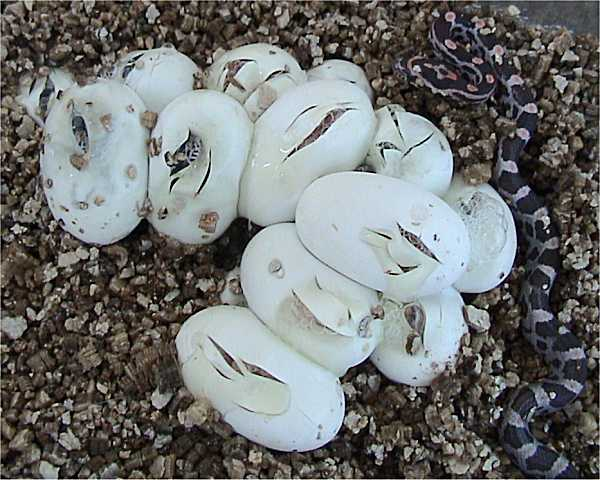 Free Reptile Egg Coloring Pages