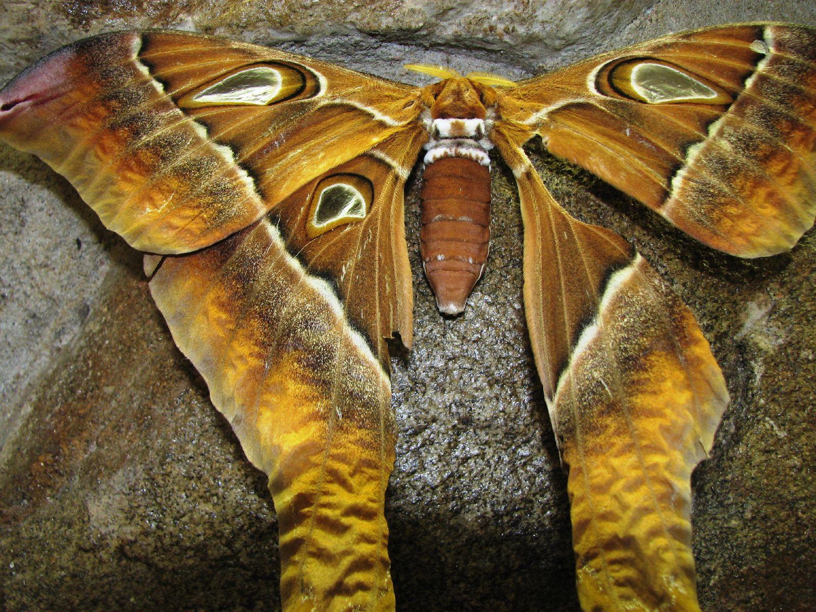 hercules-moth