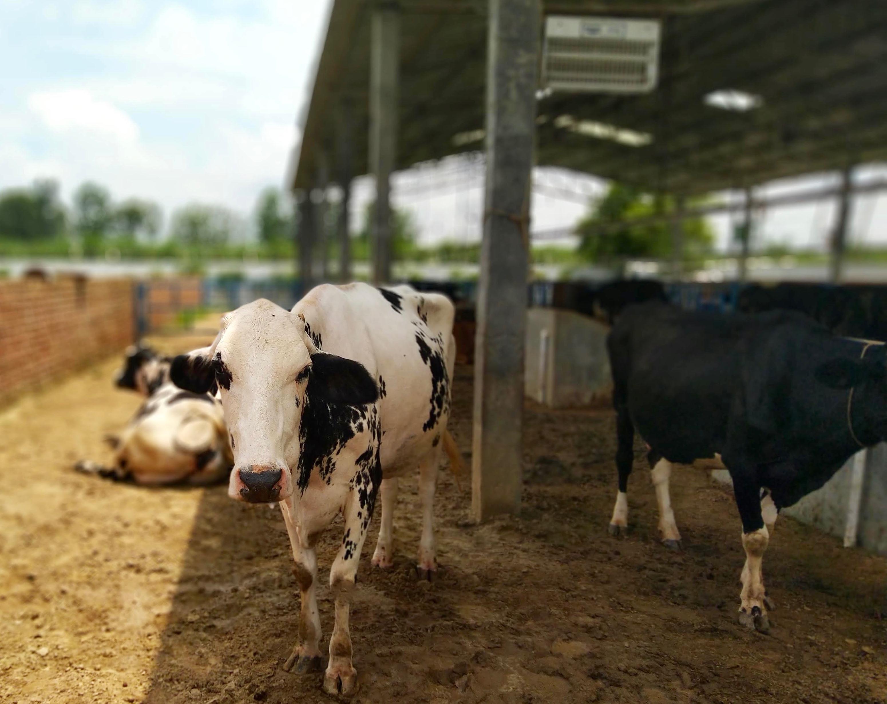 Cows at Aahan Farm.jpg