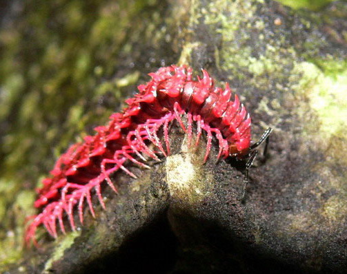 Pink Dragon Millipede