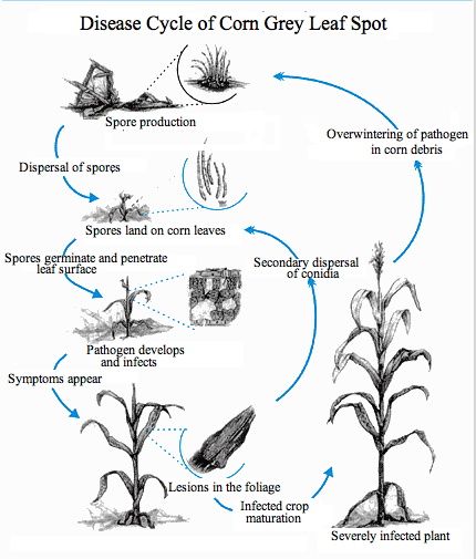 Corn grey leaf spot wikiwand life cycle of corn grey leaf spot thecheapjerseys Choice Image