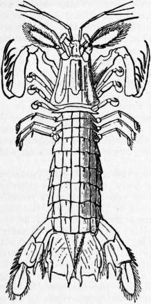 EB1911 Crustacea Fig. 7.—Squilla mantis.jpg