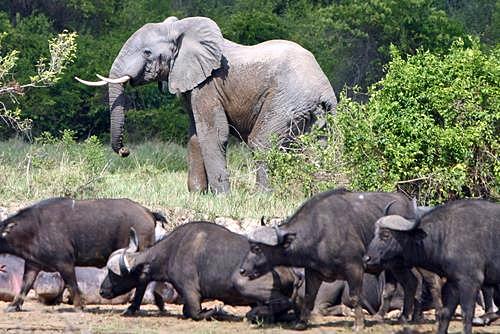 Elephants et buffled dans le parc des Virungas, 2003.jpg