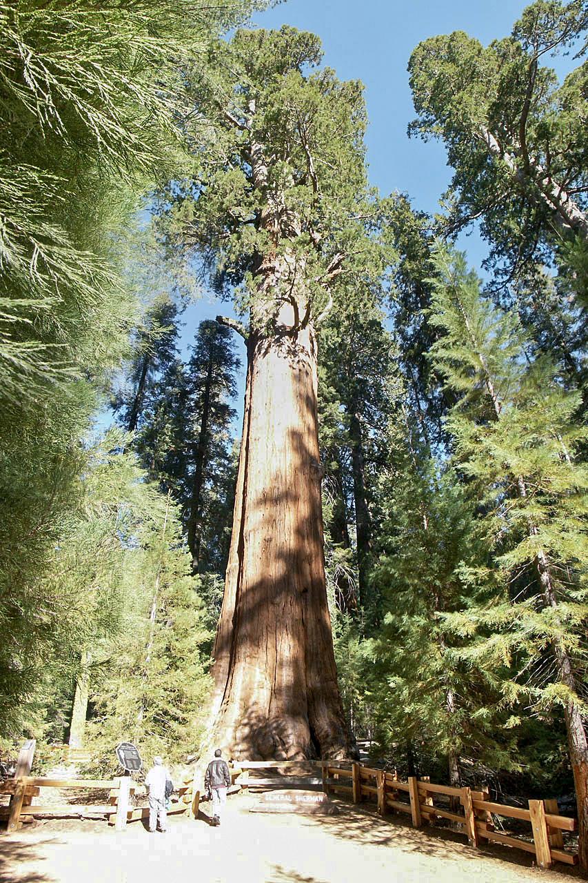 Ficheiro:General Sherman Tree.jpg – Wikipédia, a enciclopédia livre