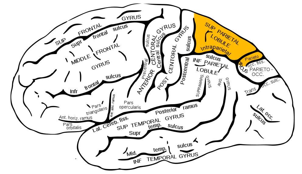 Superior Parietal Lobule Wikipedia