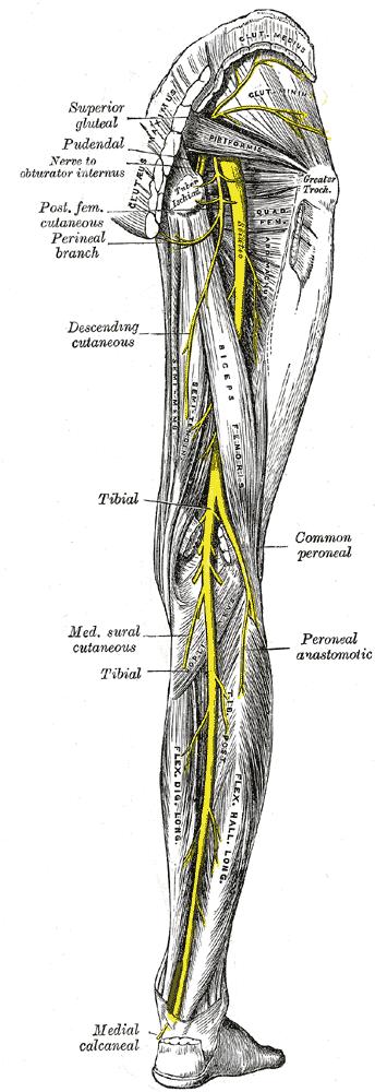 Posterior Neuromuscular Anatomy of Human Leg