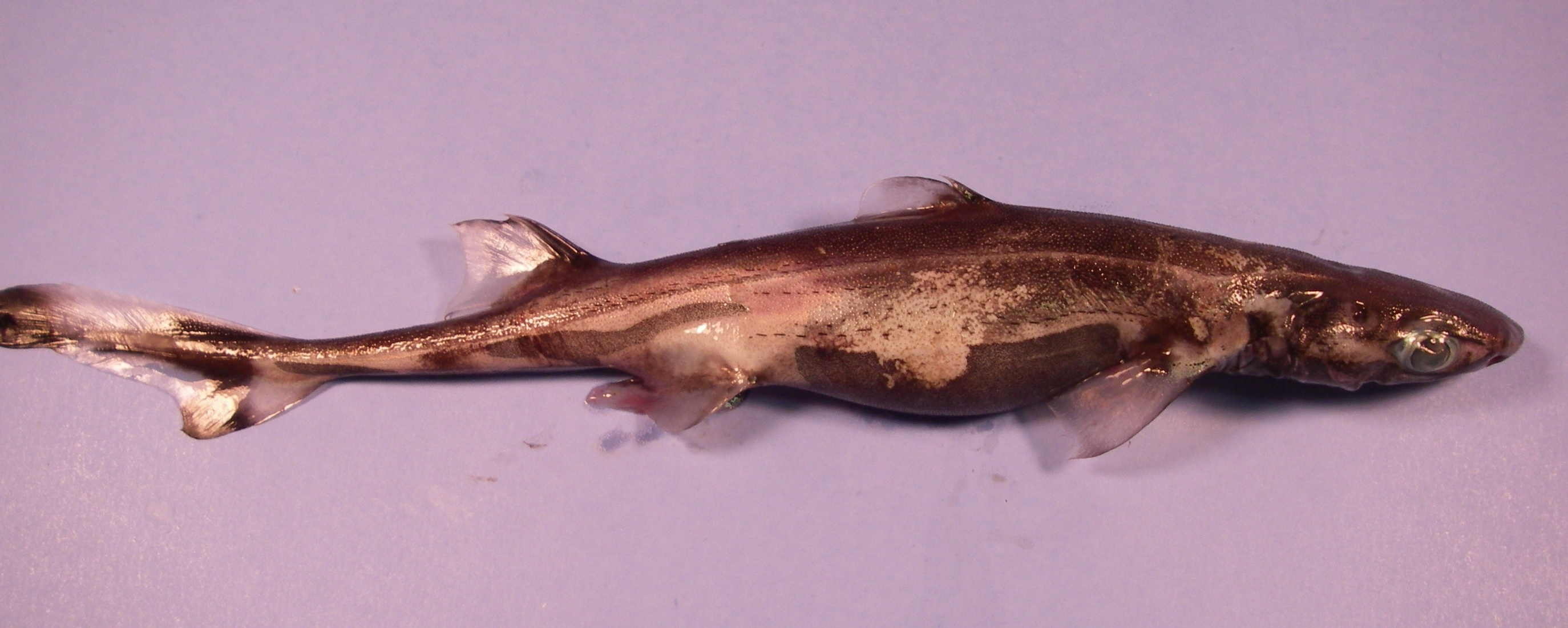 5 Smallest Shark Species