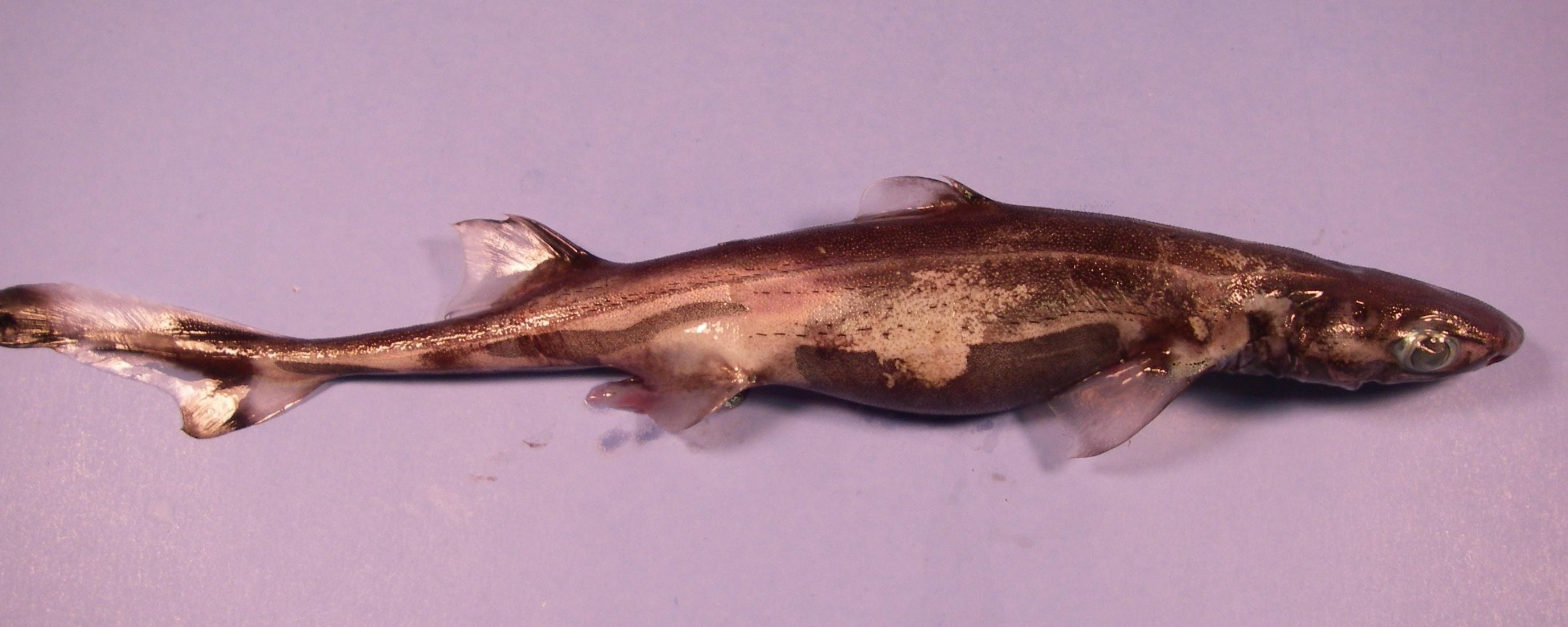 5 Smallest Shark Species