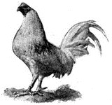 Gallo de pelea  Wikipedia la enciclopedia libre