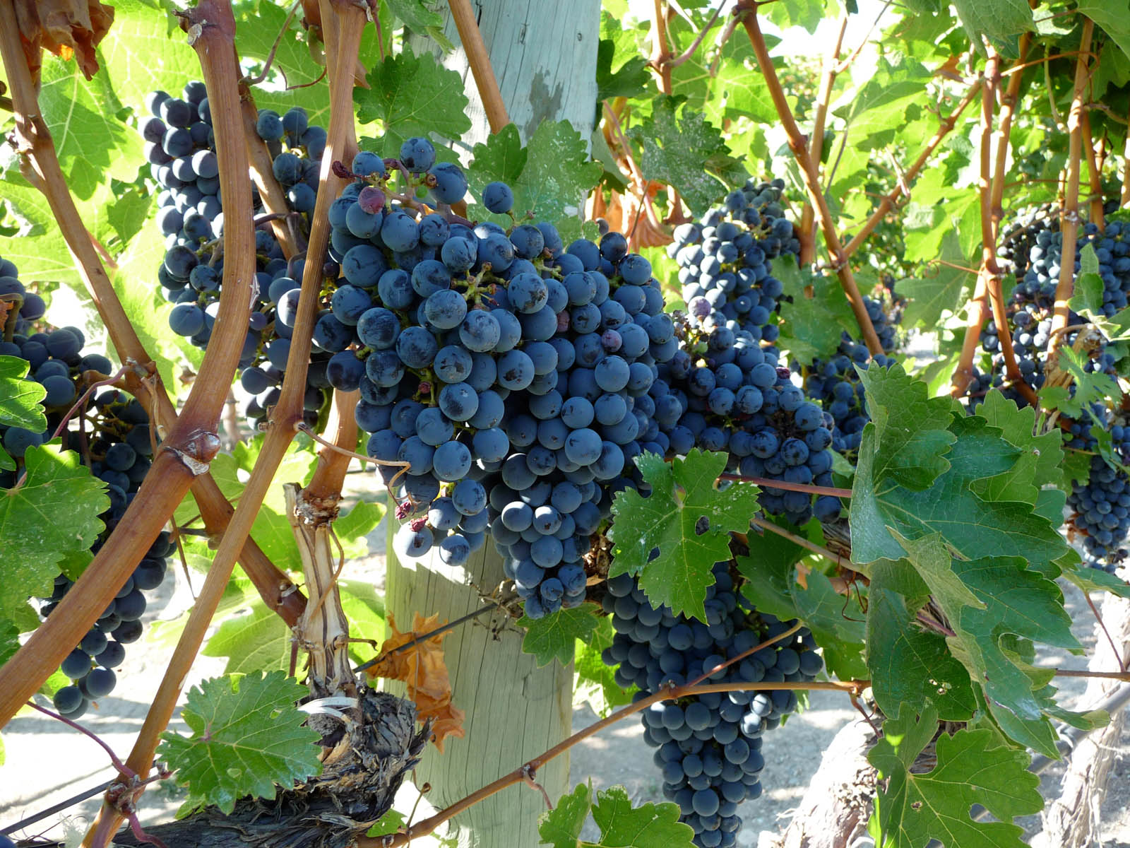 file kelowna wine grapes growing in the okanagan jpg wikimedia