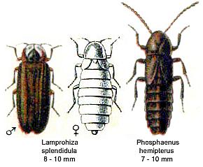 Kleiner Leuchtkäfer (Lamprohiza splendidula) und Kurzflügel-Leuchtkäfer (Phosphaenus hemipterus)