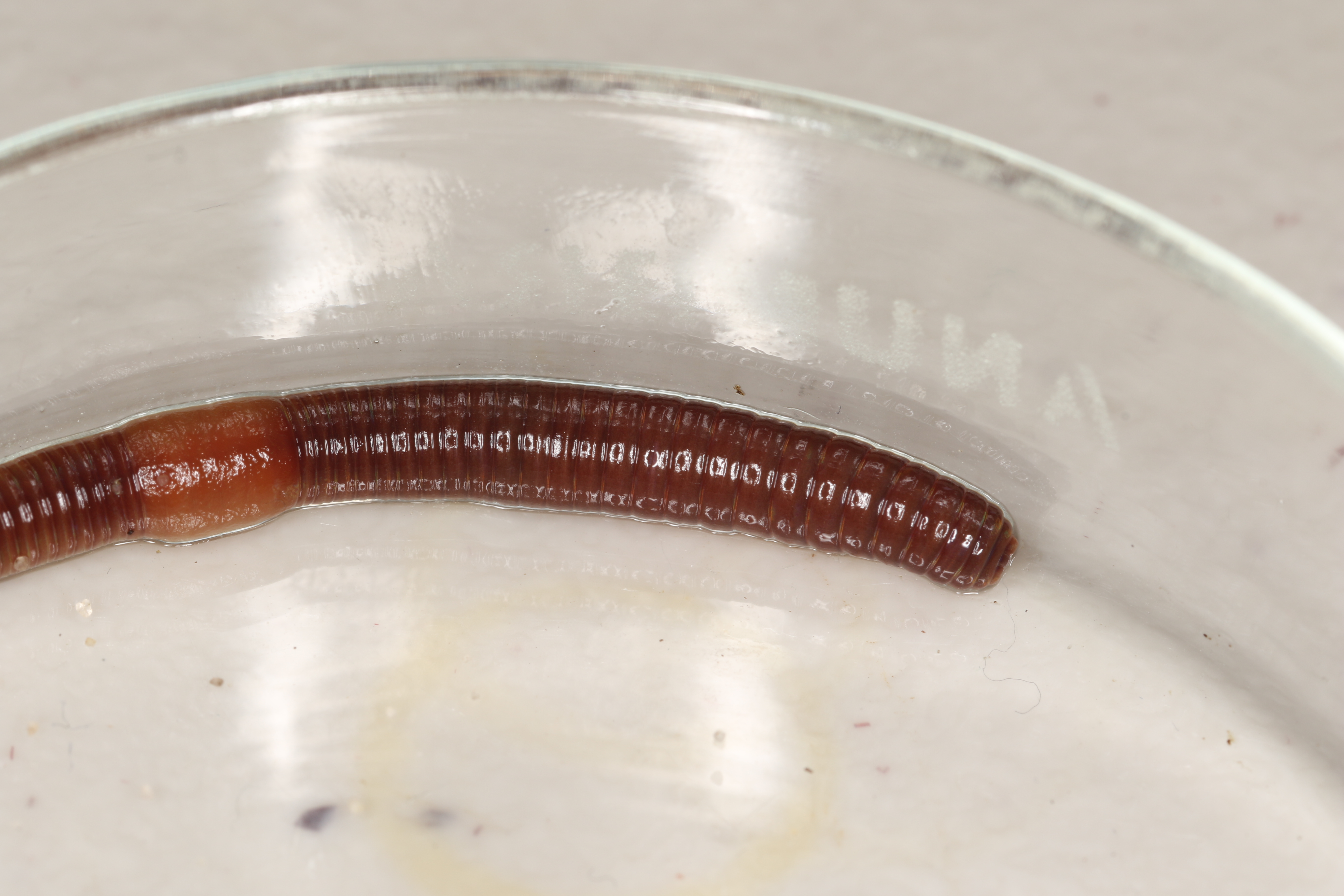 Related Keywords & Suggestions for lumbricus rubellus size
