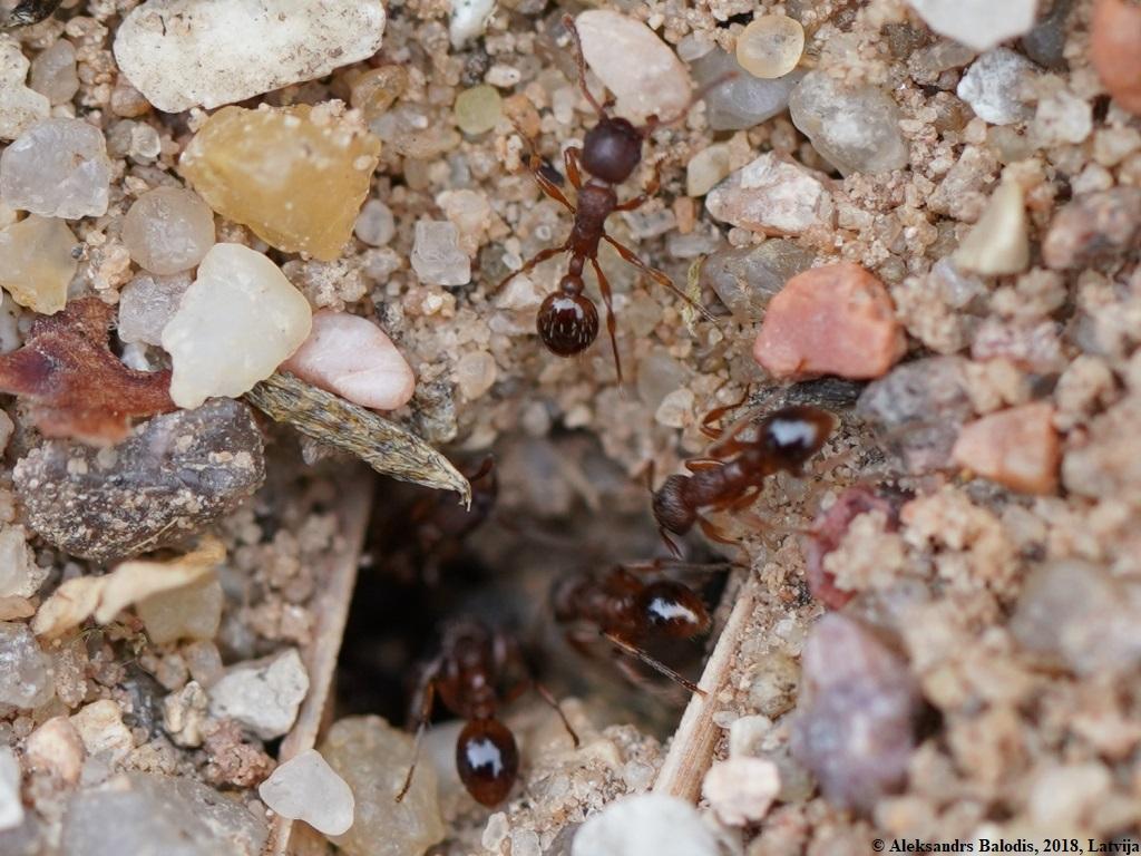 Myrmica sabuleti entrance to natural nest