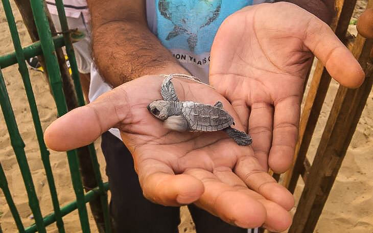 A newborn olive ridley turtle. Photo credit: Wikimedia Commons