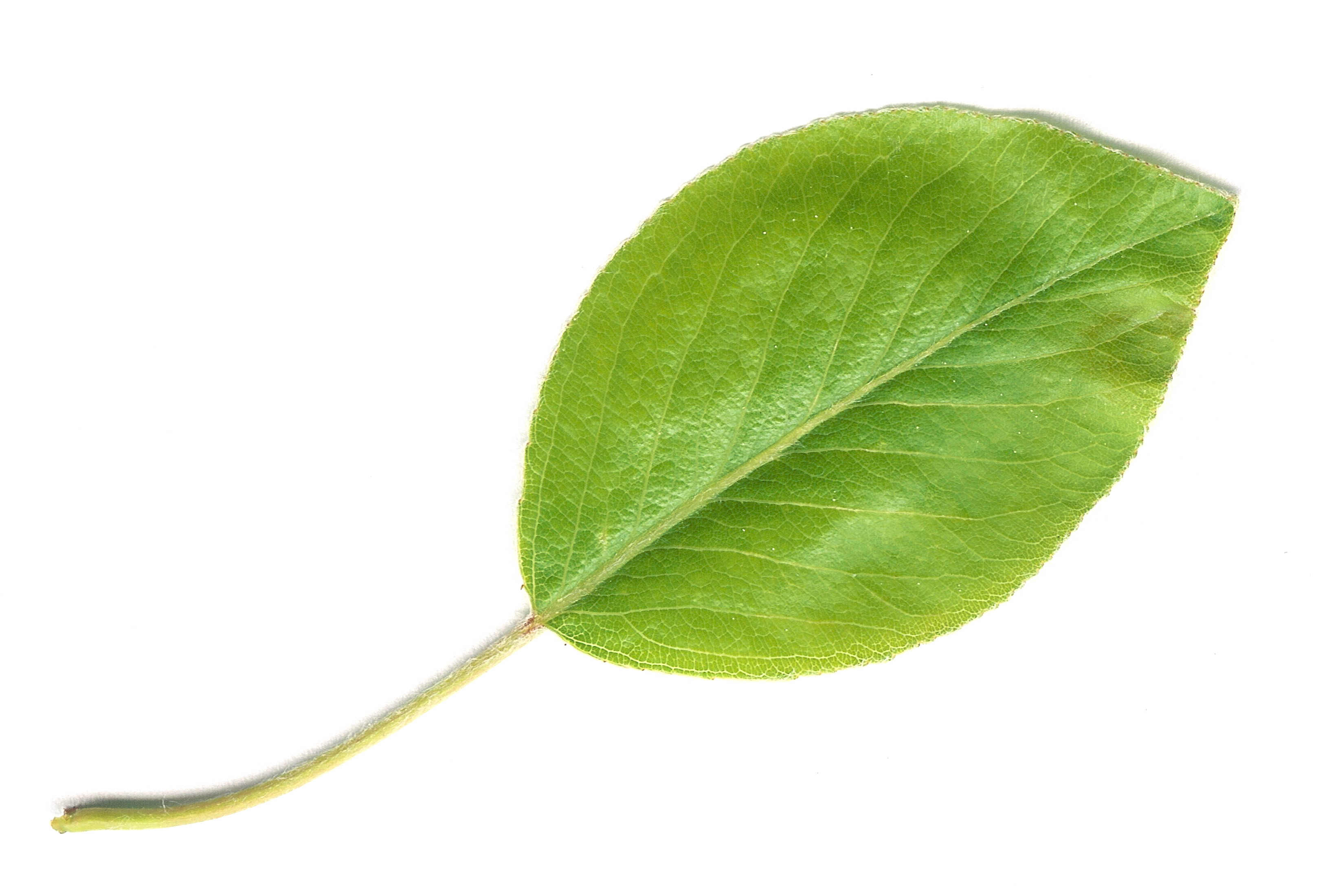 File:Pear Leaf.jpg