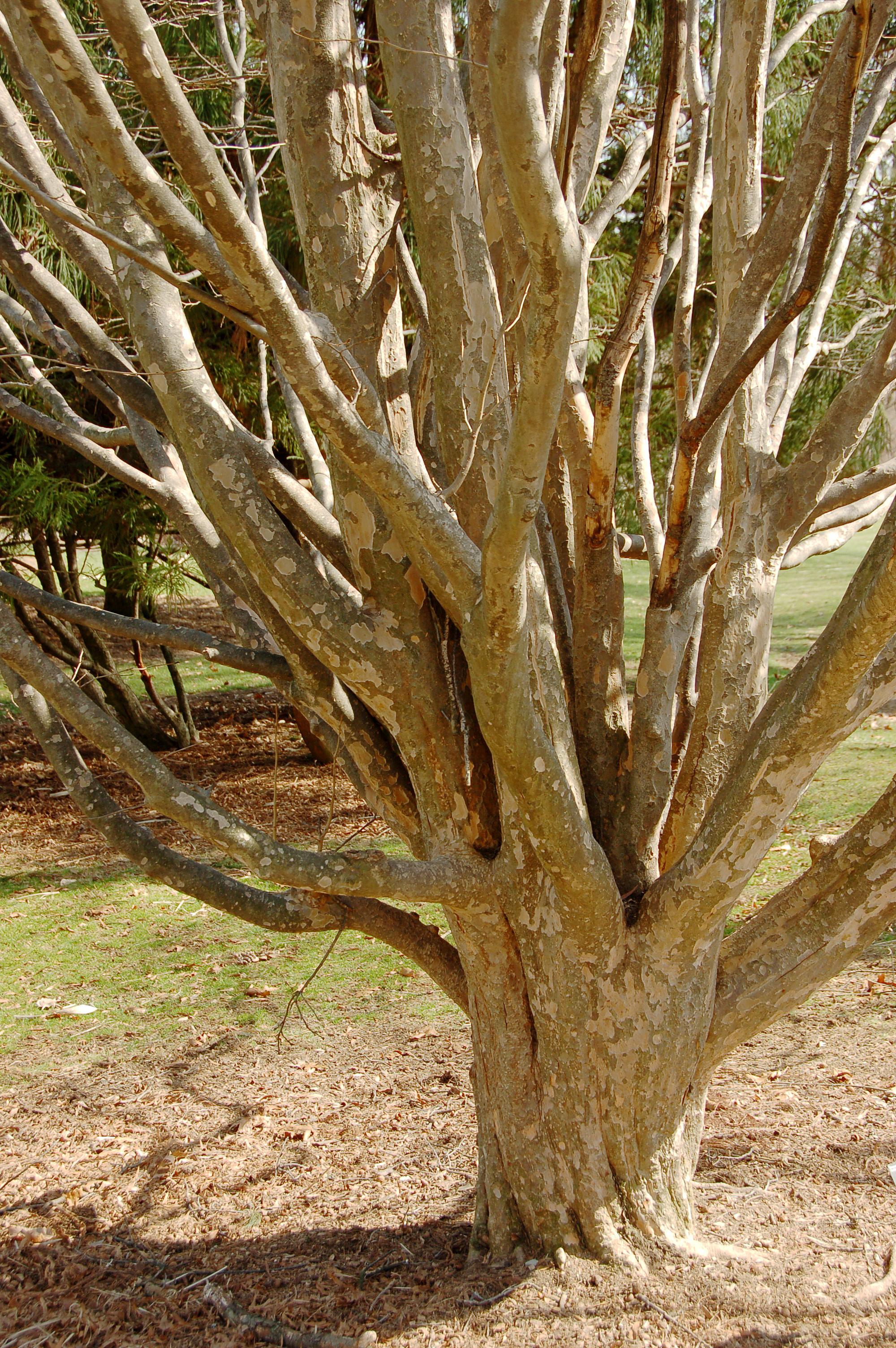 le magnifique tronc multiple du parrotia