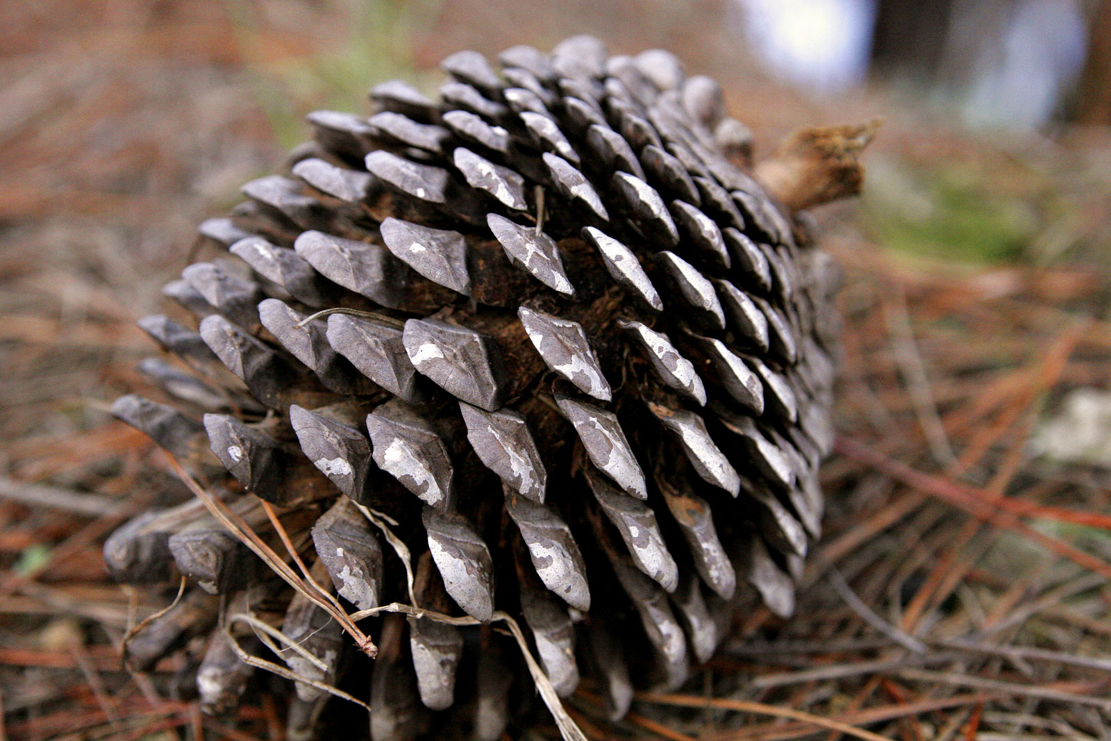 Pine Cone From Norfolk Island Pine