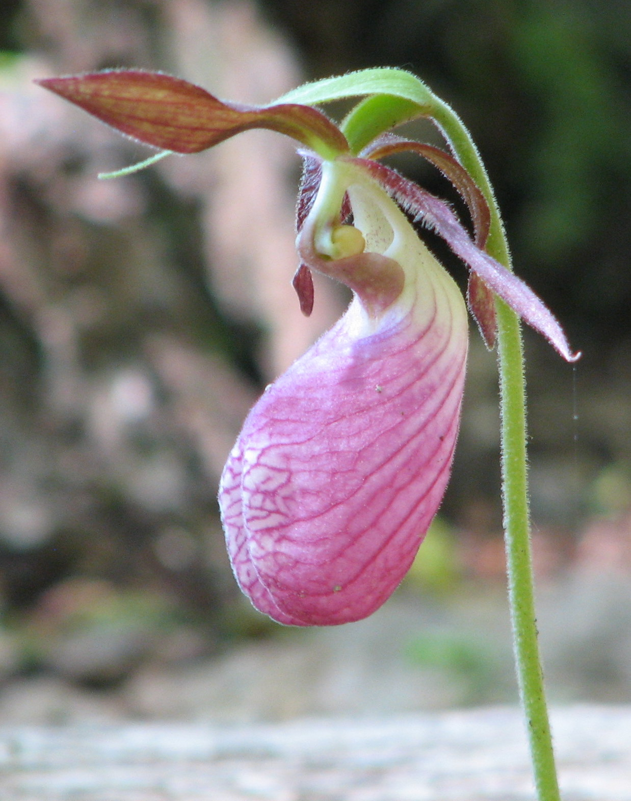 File Pink Lady s Slipper Wikimedia mons