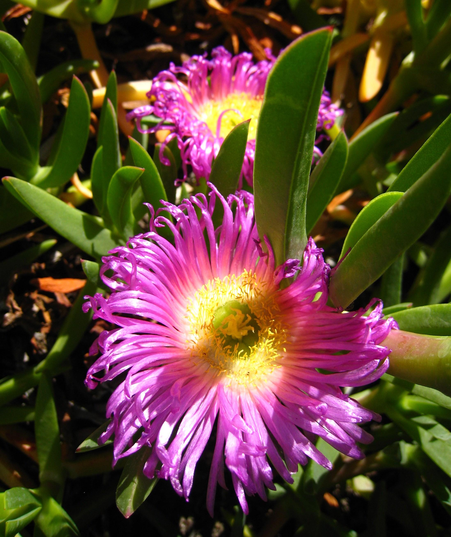 Filepink Succulent Bloom Orange Countyg Wikimedia Commons