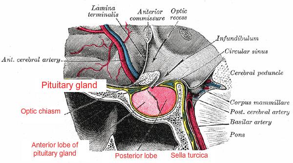 File:Pituitary gland-optic chiasm-sella turcica.jpg - Wikimedia Commons