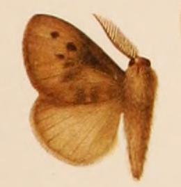 <i>Podalia</i> Genus of moths