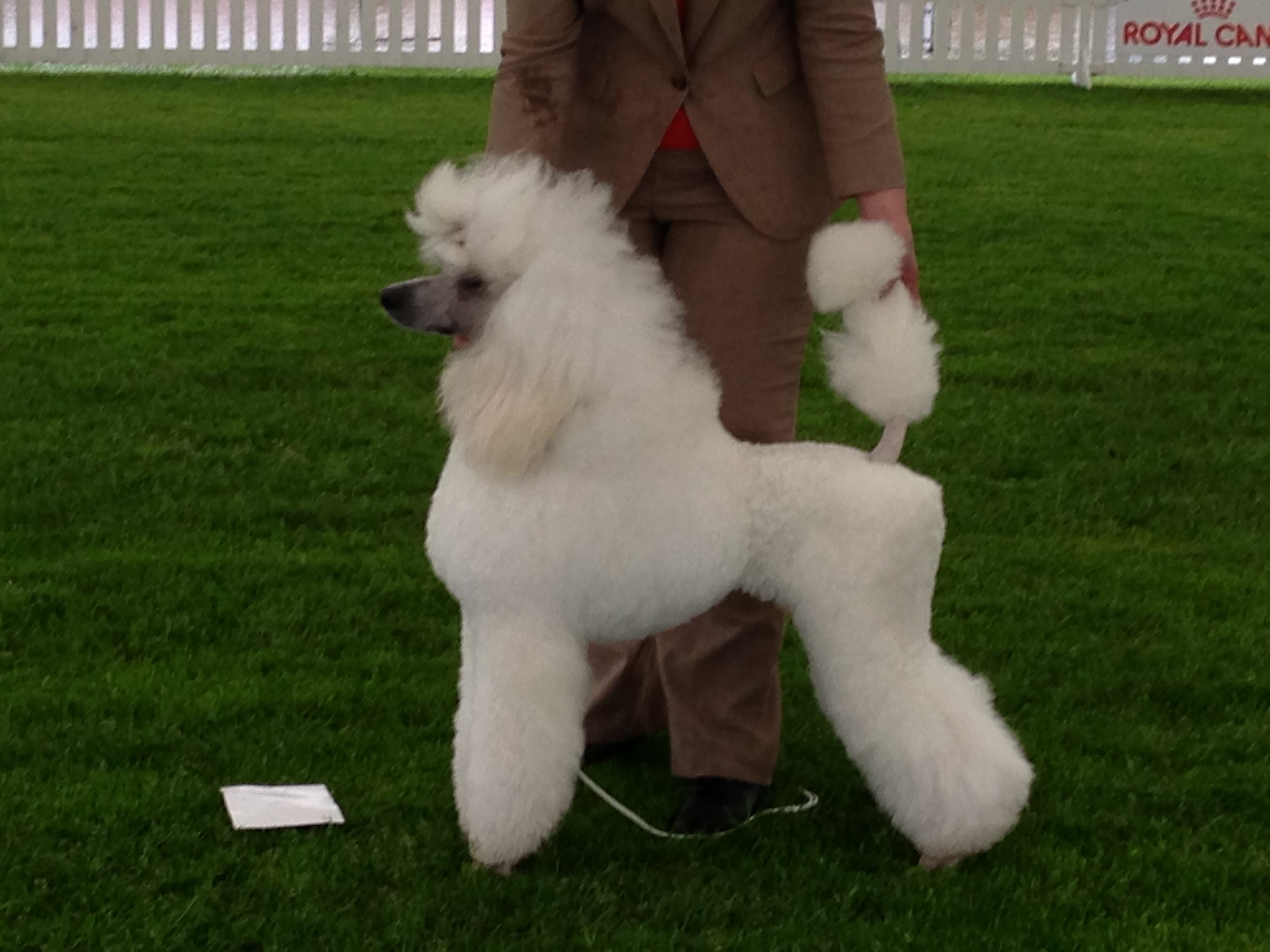 File Poodle White Standard 02 Jpg Wikimedia Commons