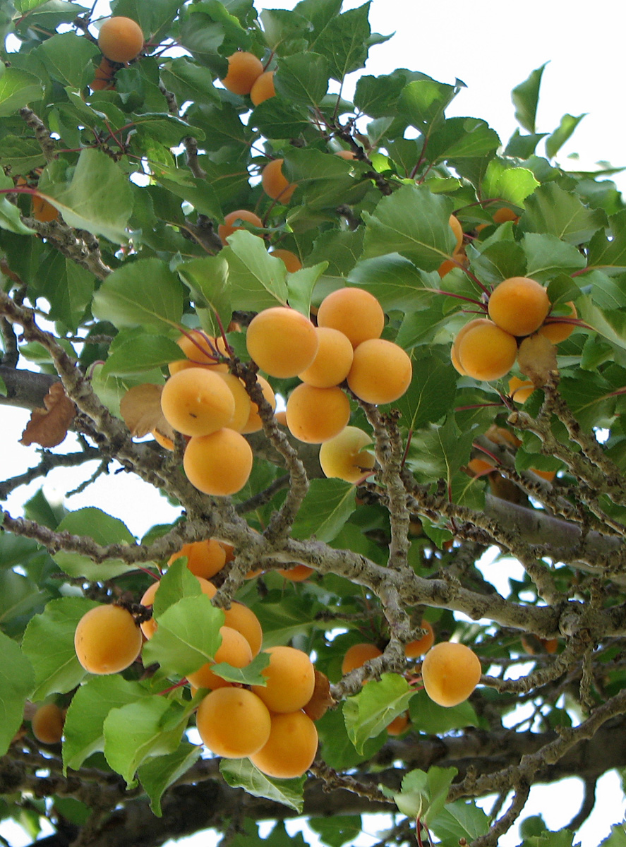 carotenoid wikipedia