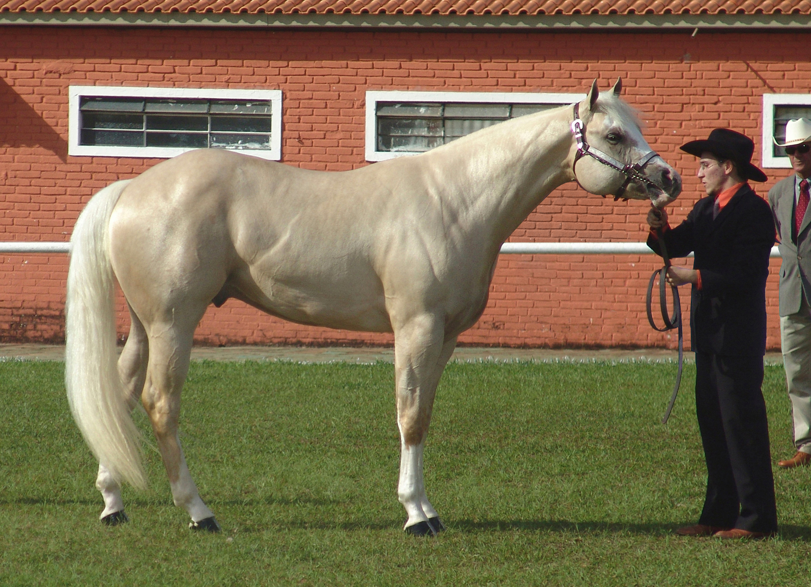 American Quarter Horse Wikipedia