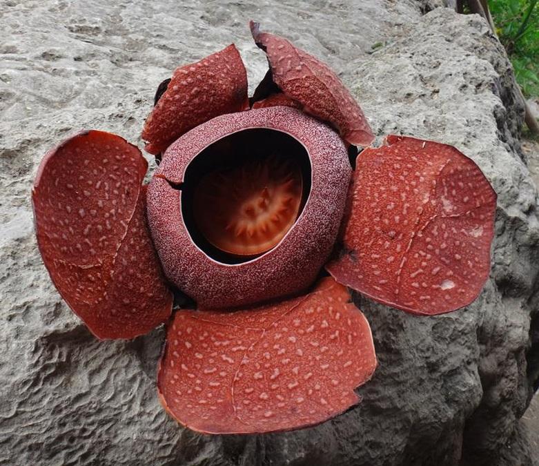 Rafflesia (R. speciosa) in Miagao.jpg