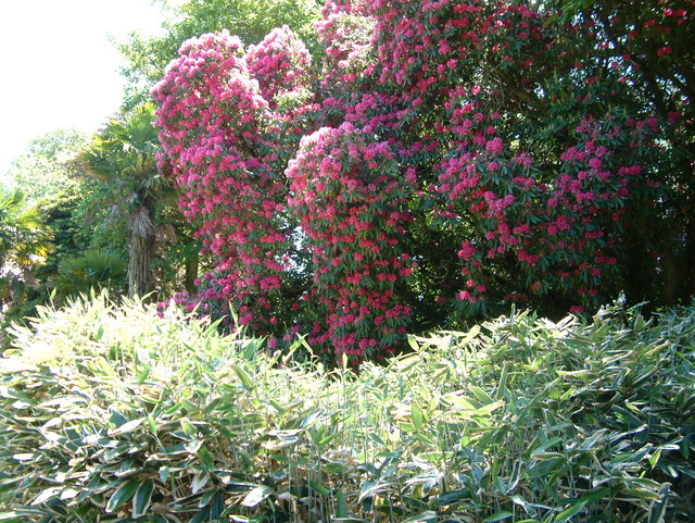 Rhododendrons and bamboo, Heligan Gardens - geograph.org.uk - 412656