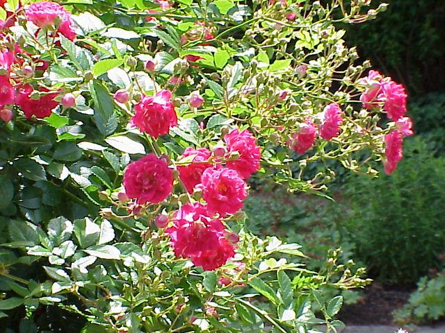 Rosa sp.271