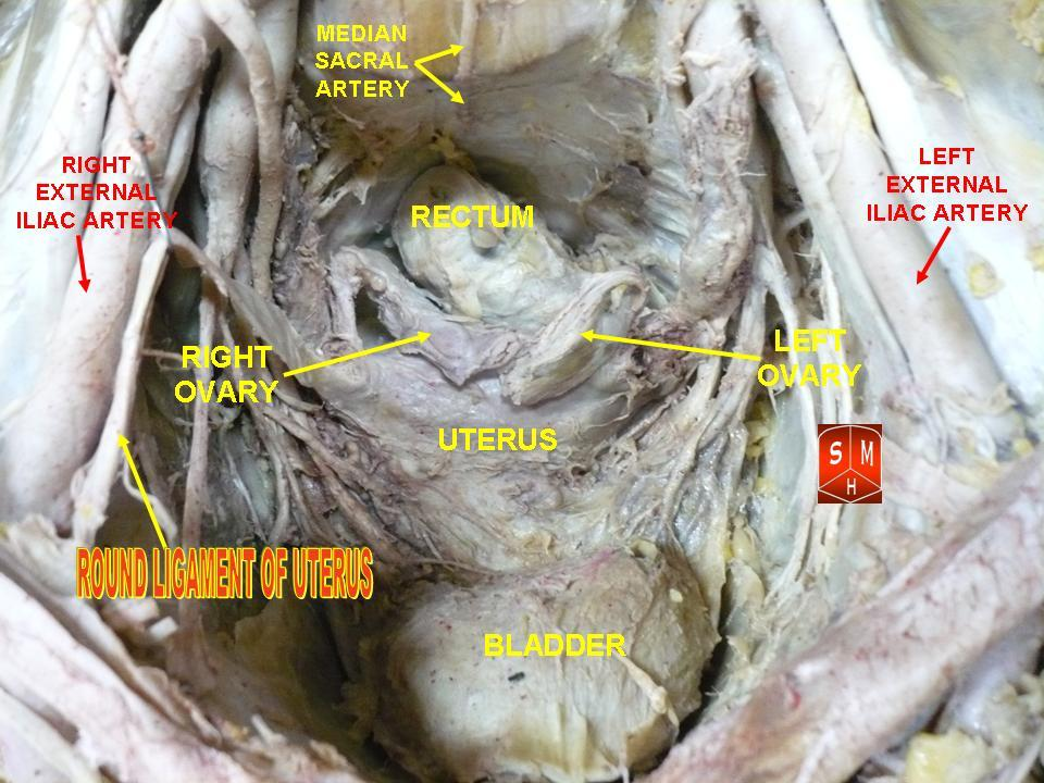 Fileround Ligaments Of Uterusg Wikimedia Commons
