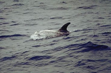 delfin på engelsk