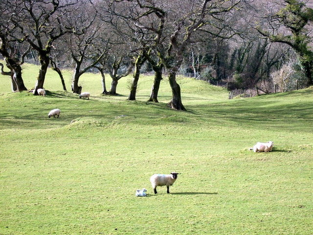 Sheep and lambs, Cwm Gwaun - geograph.org.uk - 734358